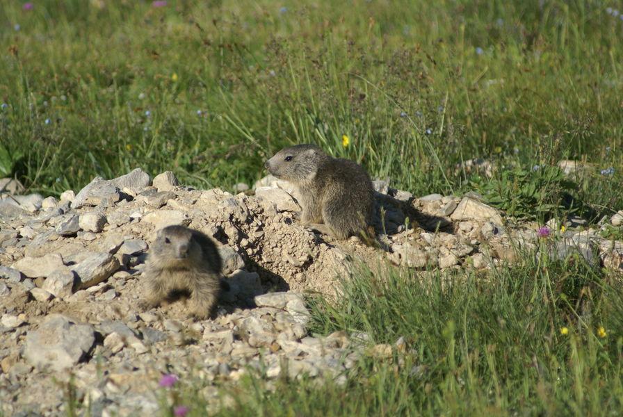 Balade ludique accompagnée : «Découverte des marmottes»